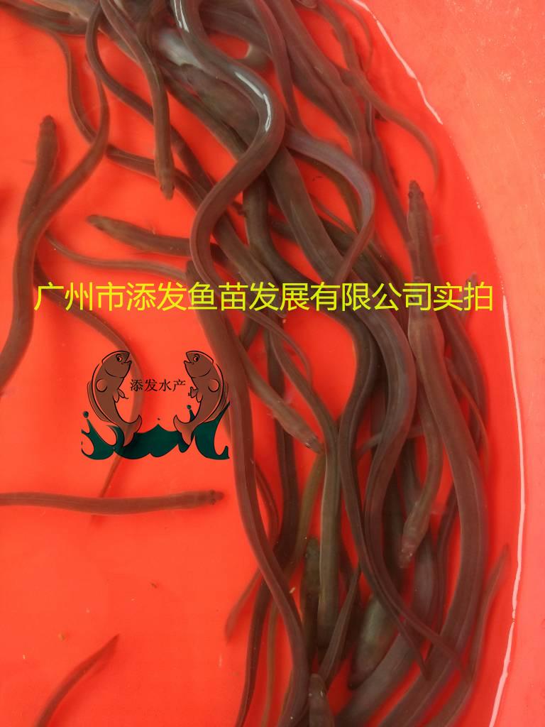 鳗鱼苗/白鳝苗