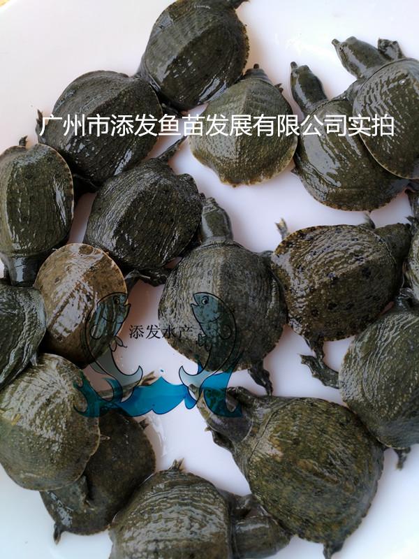 鳖苗/甲鱼/水鱼苗